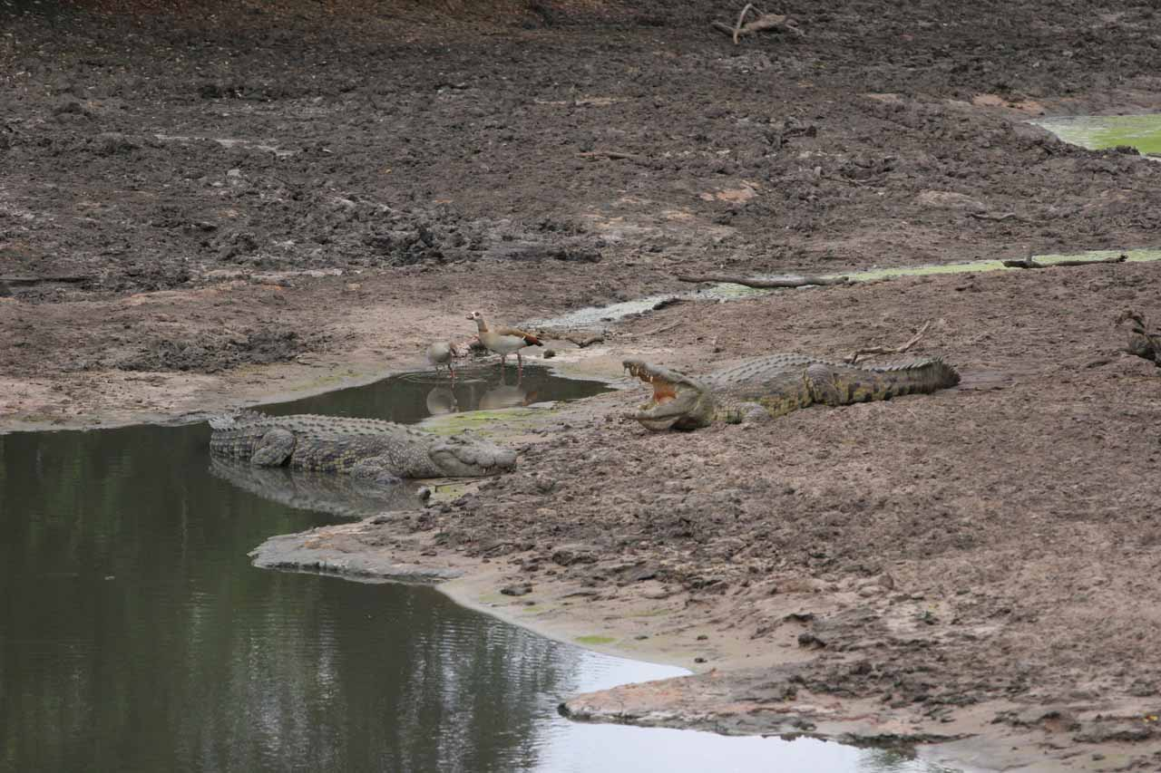 Crocodiles by the river