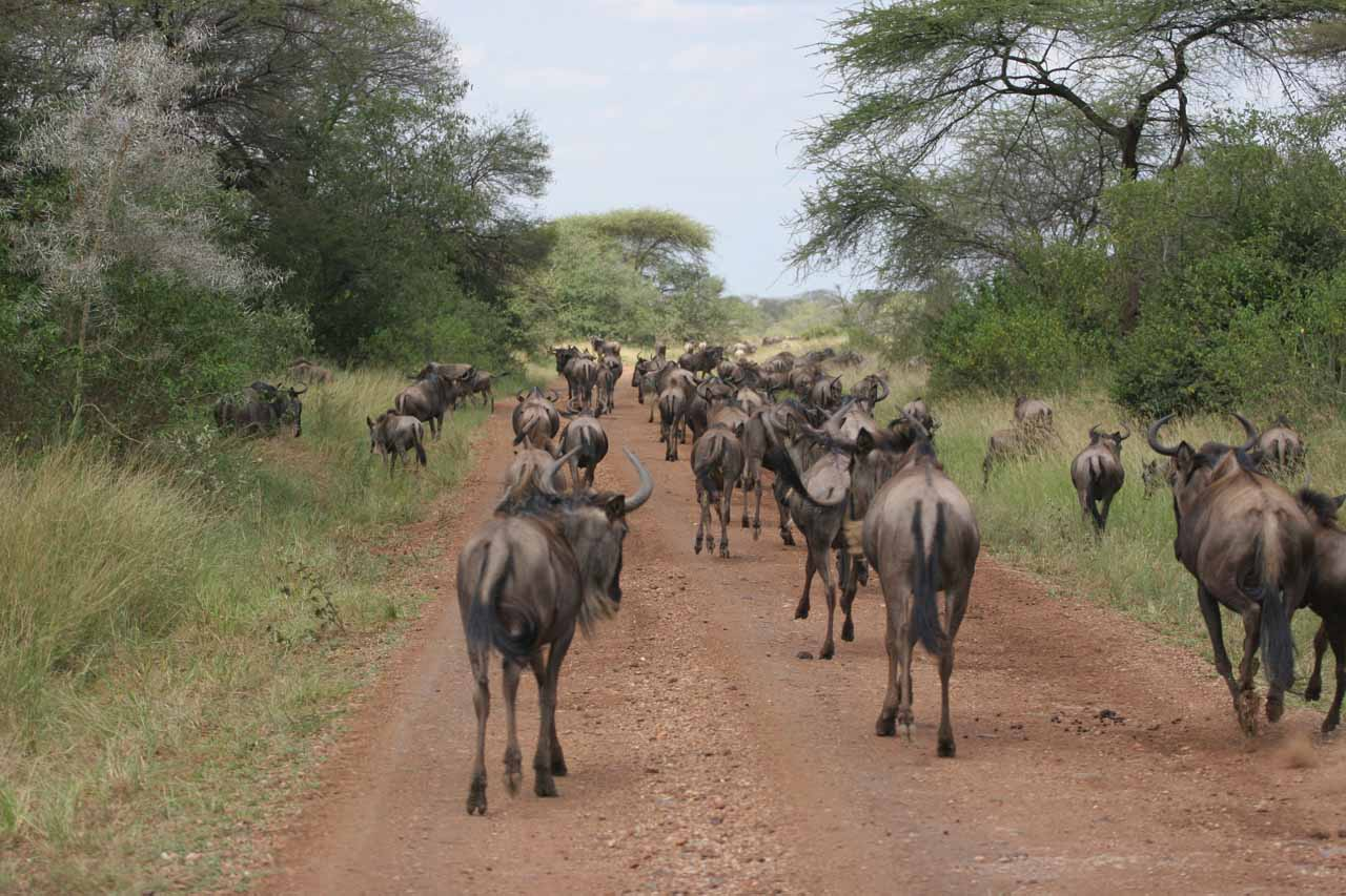 Behind the wildebeest migration