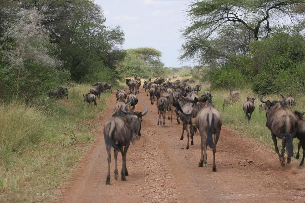 Behind the wildebeest migration