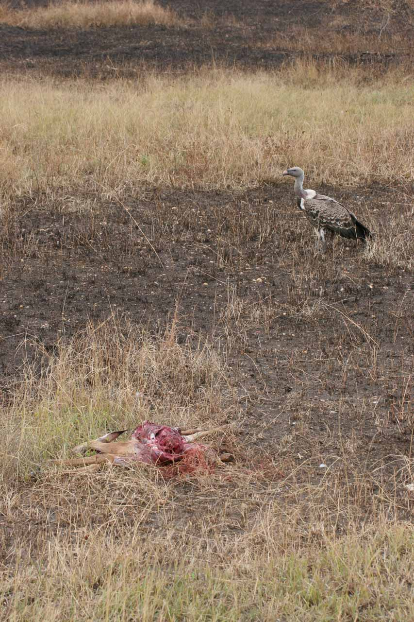 Scavengers about to pick on a carcass