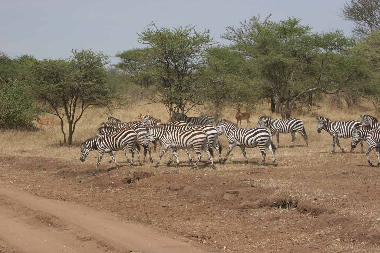 Jittery zebras trotting away from a drink at the river