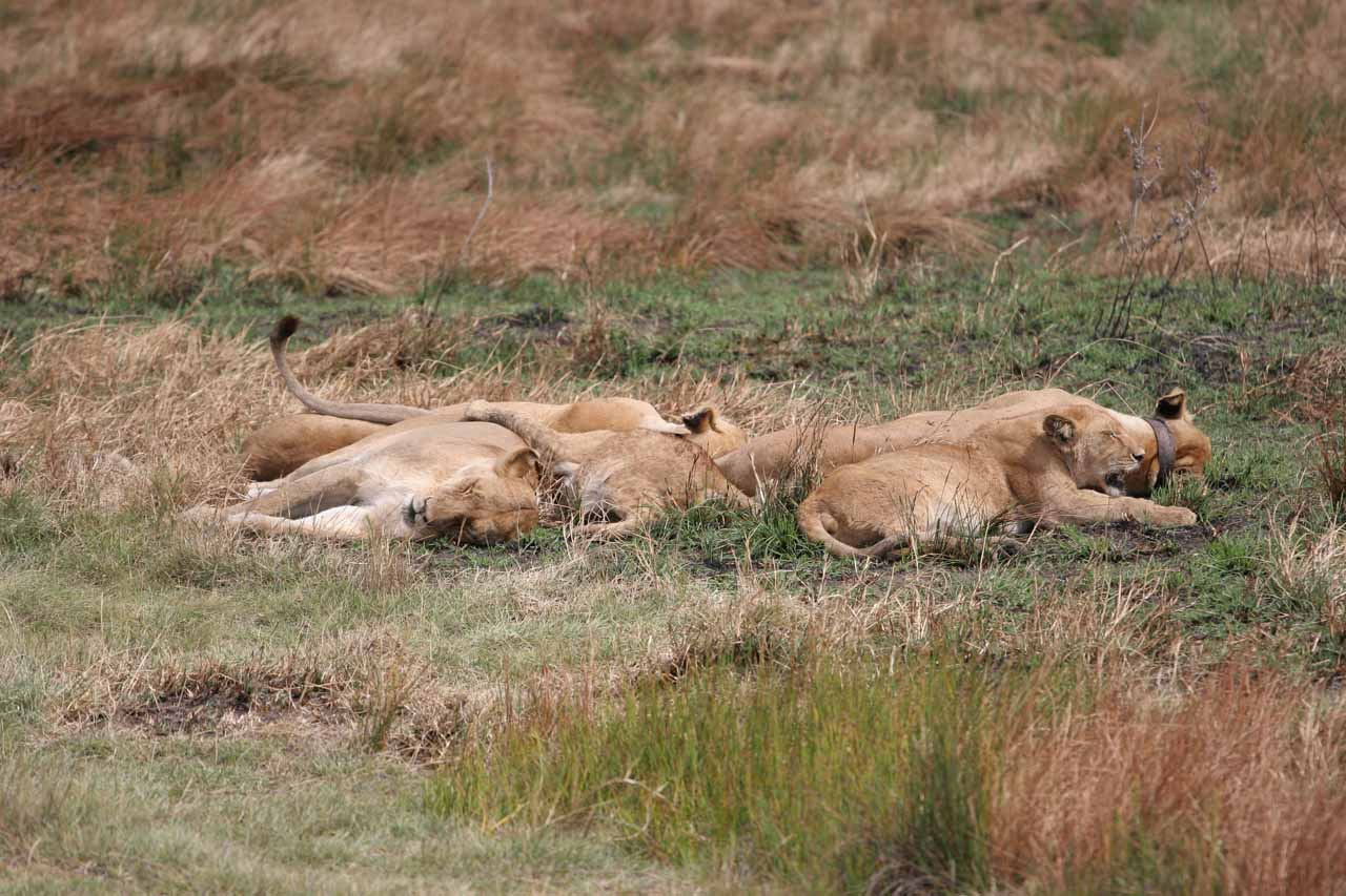 Sleeping pride of lions