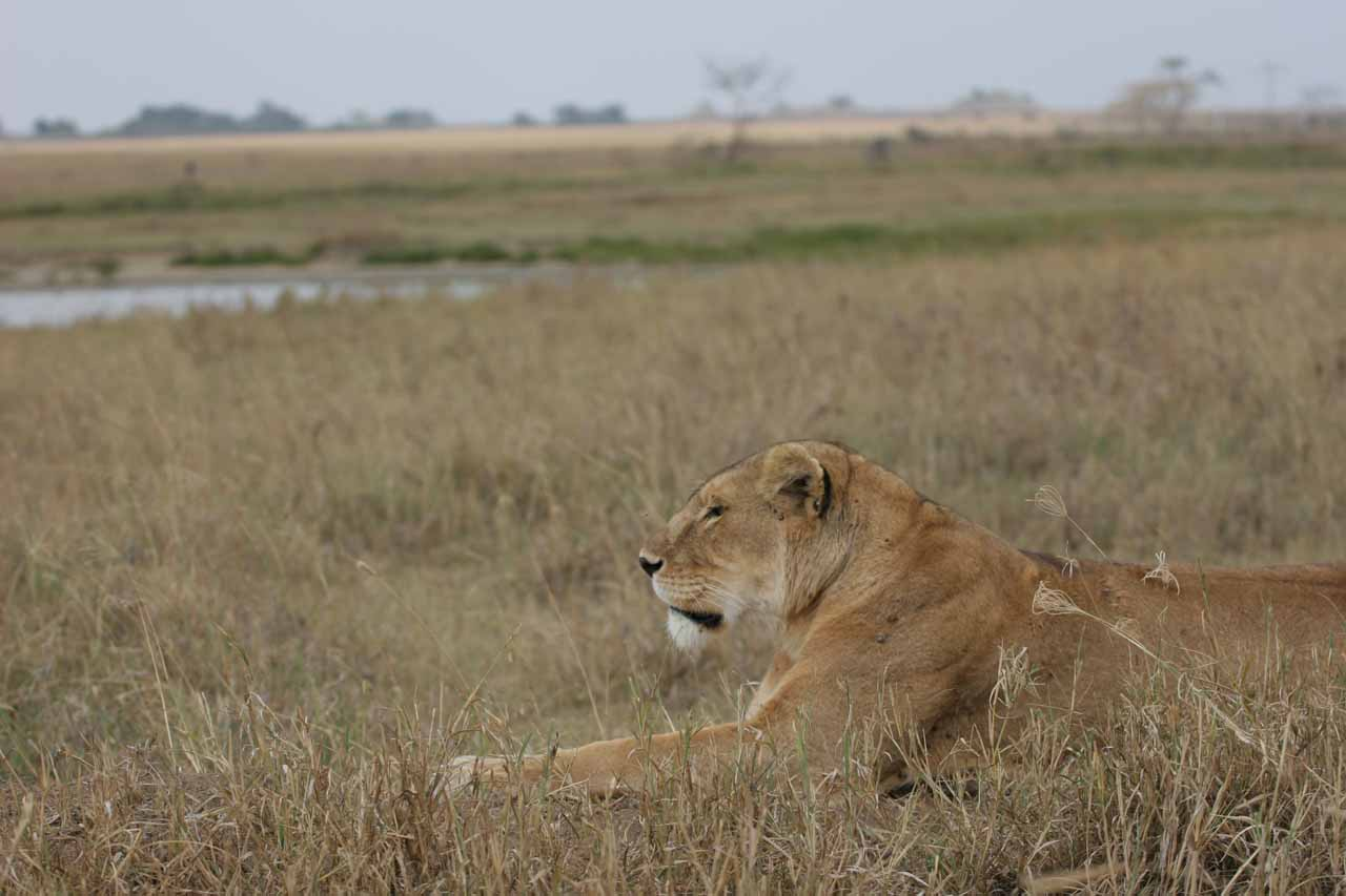 Female lion by the road
