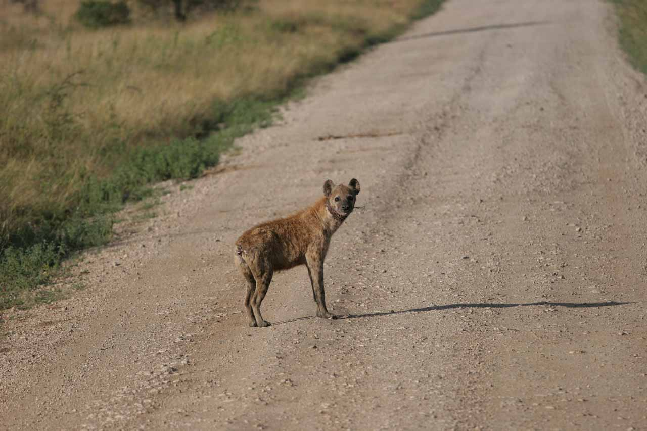 Injured hyena with snare around its neck
