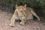 Serengeti_515_06102008 - Female lion sitting on the road