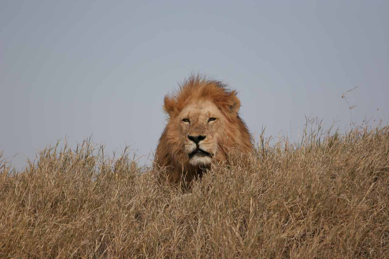 The first of two male lions that are apparently brothers
