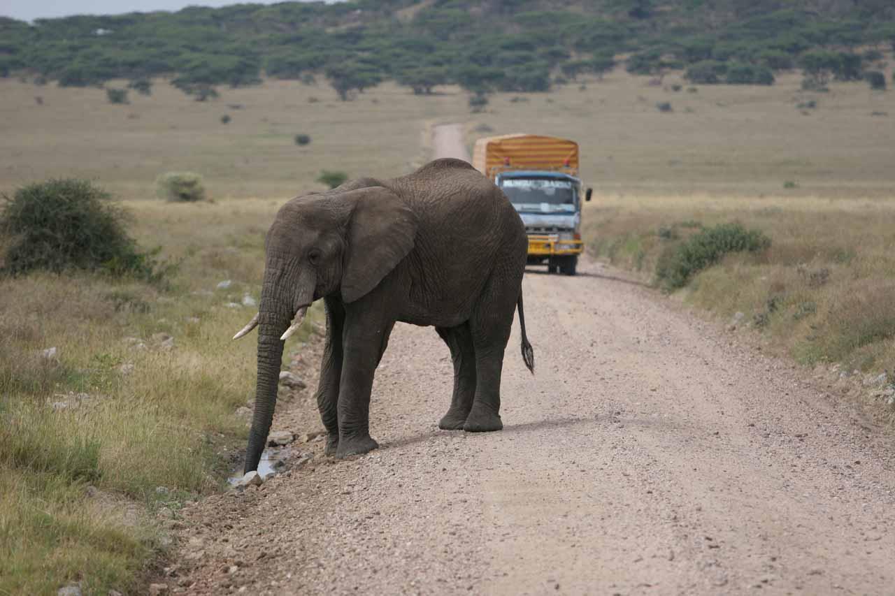 Thirsty elephant blocking the road