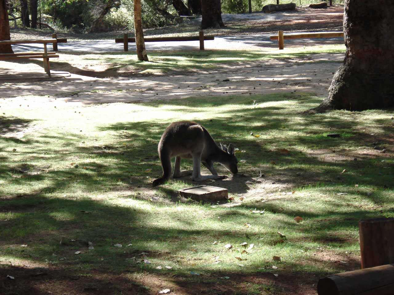A kangaroo grazing at the picnic area by the car park for Serpentine National Park