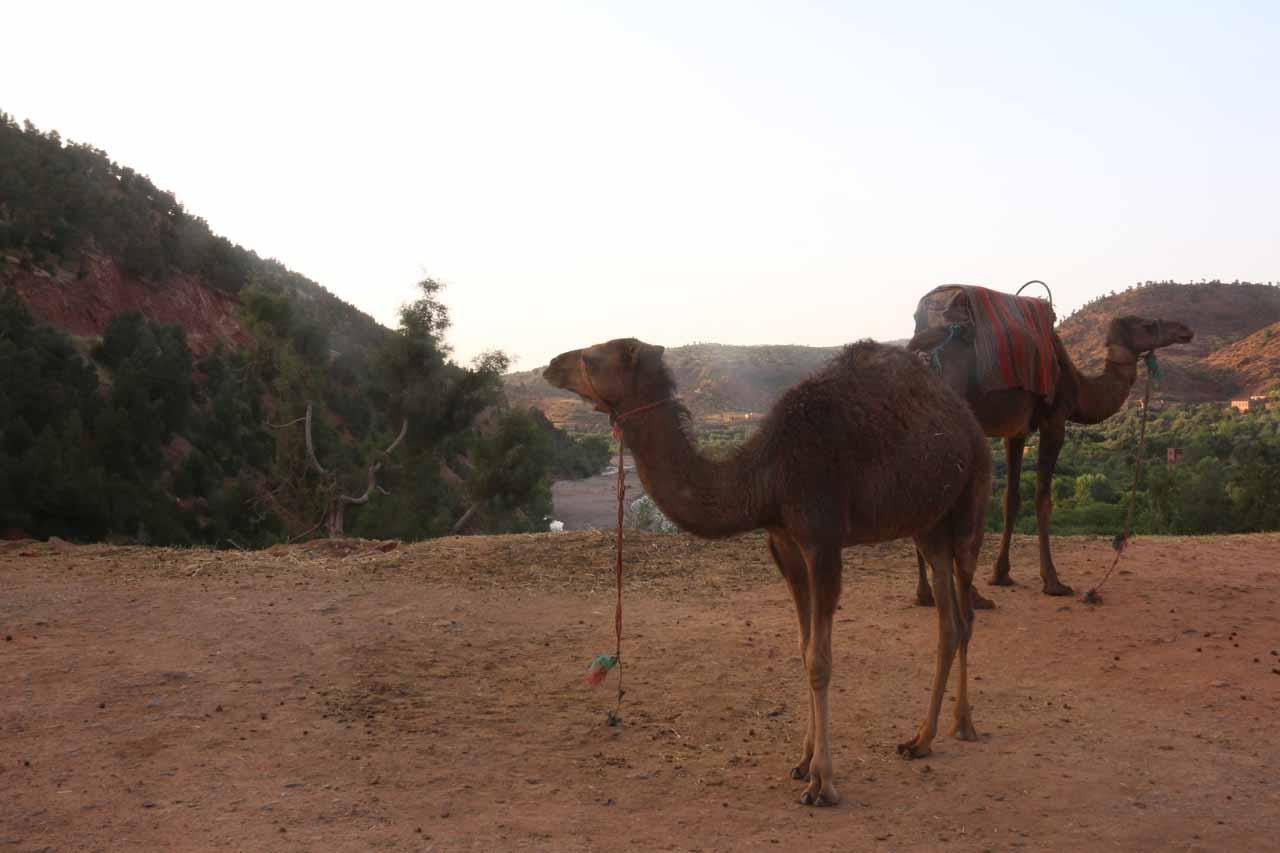 Camels alongside the road