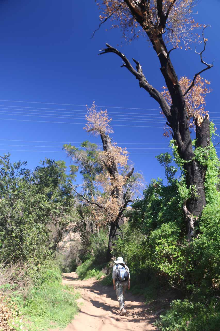 Walking beneath blackened trees from past fires