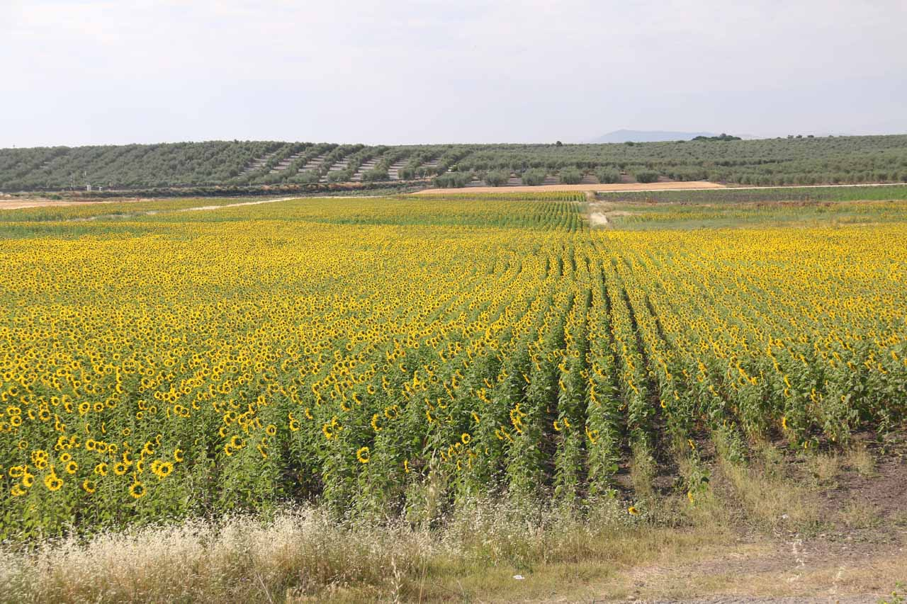A huge field of sunflowers seen from a gas stop on the way to Granada
