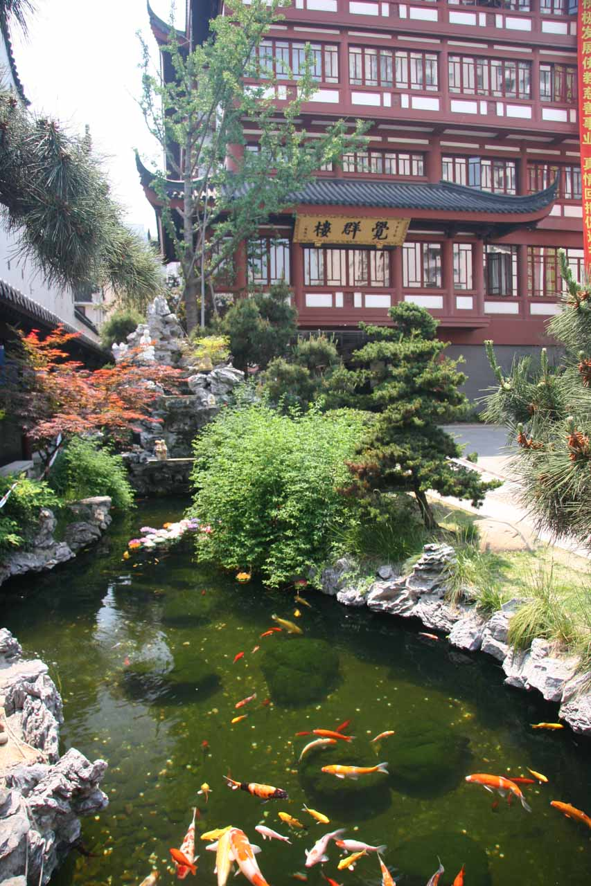 Coy pond in the backside of the Jade Buddha Temple
