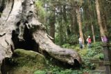 Shanlinhsi_200_10312016 - The hollow trunk of the Ancient Red Cypress just down the mountain from the Eye of Heaven Rock