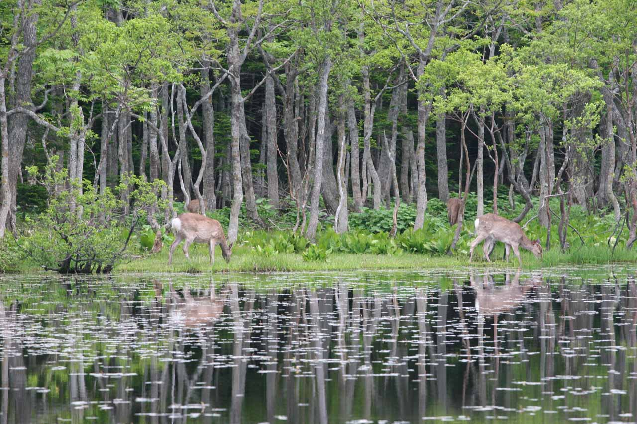 Deer grazing across the 5th lake