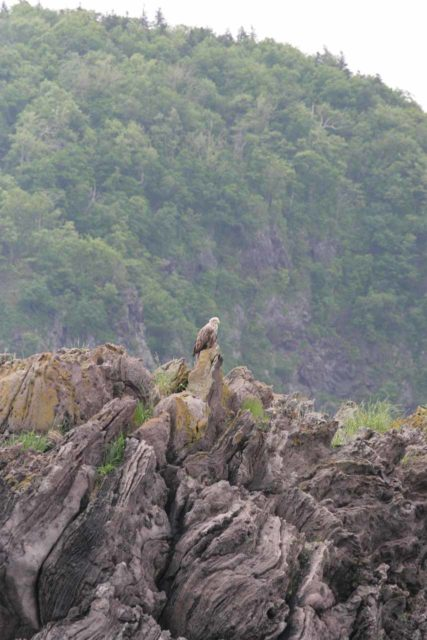 Shiretoko_tour_119_06072009 - Wildlife sightings were one of the big highlights of the boat tour of the western side of the Shiretoko Peninsula. This one was of a Stellar's Eagle