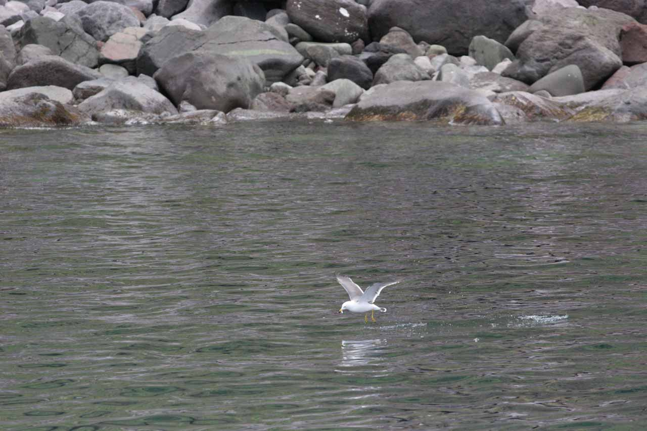 Another bird skimming the sea