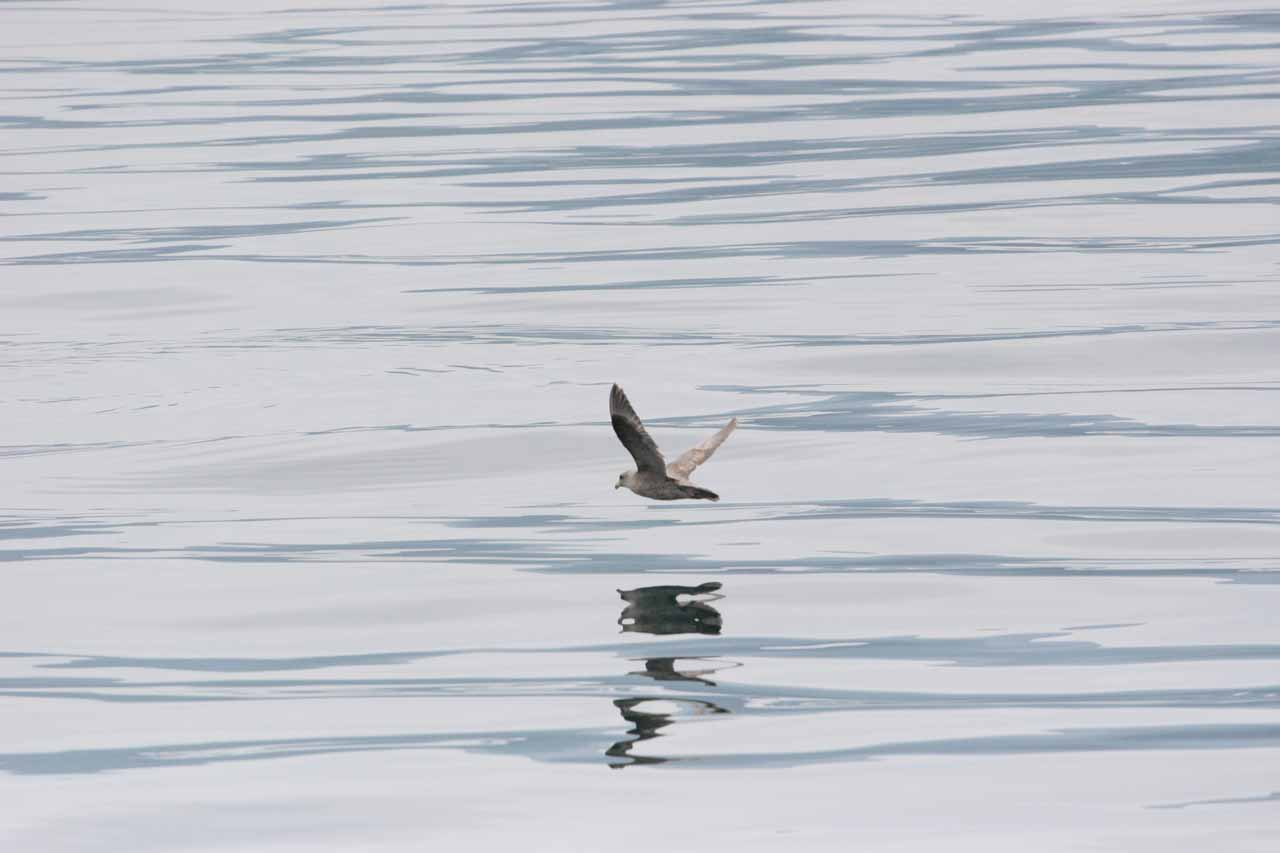 Bird skimming Sea of Okhotsk