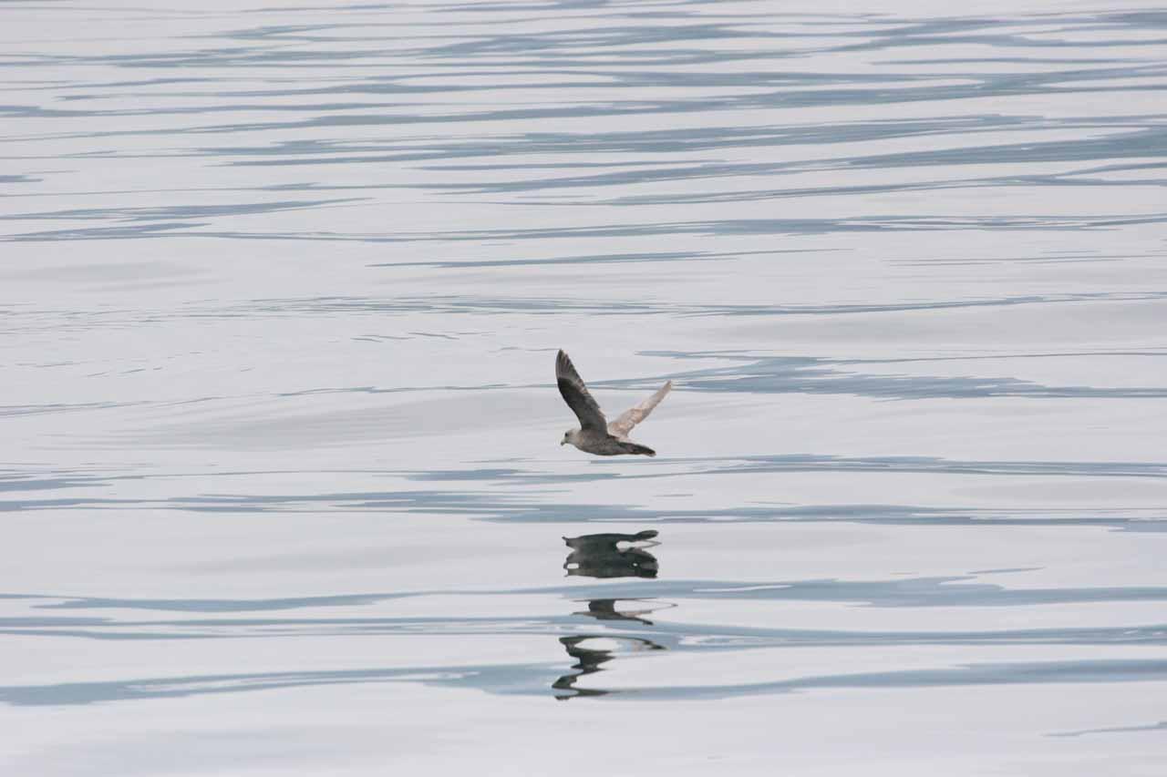 Bird skimming Sea of Okhotsk