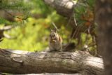 Silver_Cord_Cascade_17_062_08102017 - During the return hike on my August 2017 visit, I noticed this squirrel or chipmunk munching on a nut