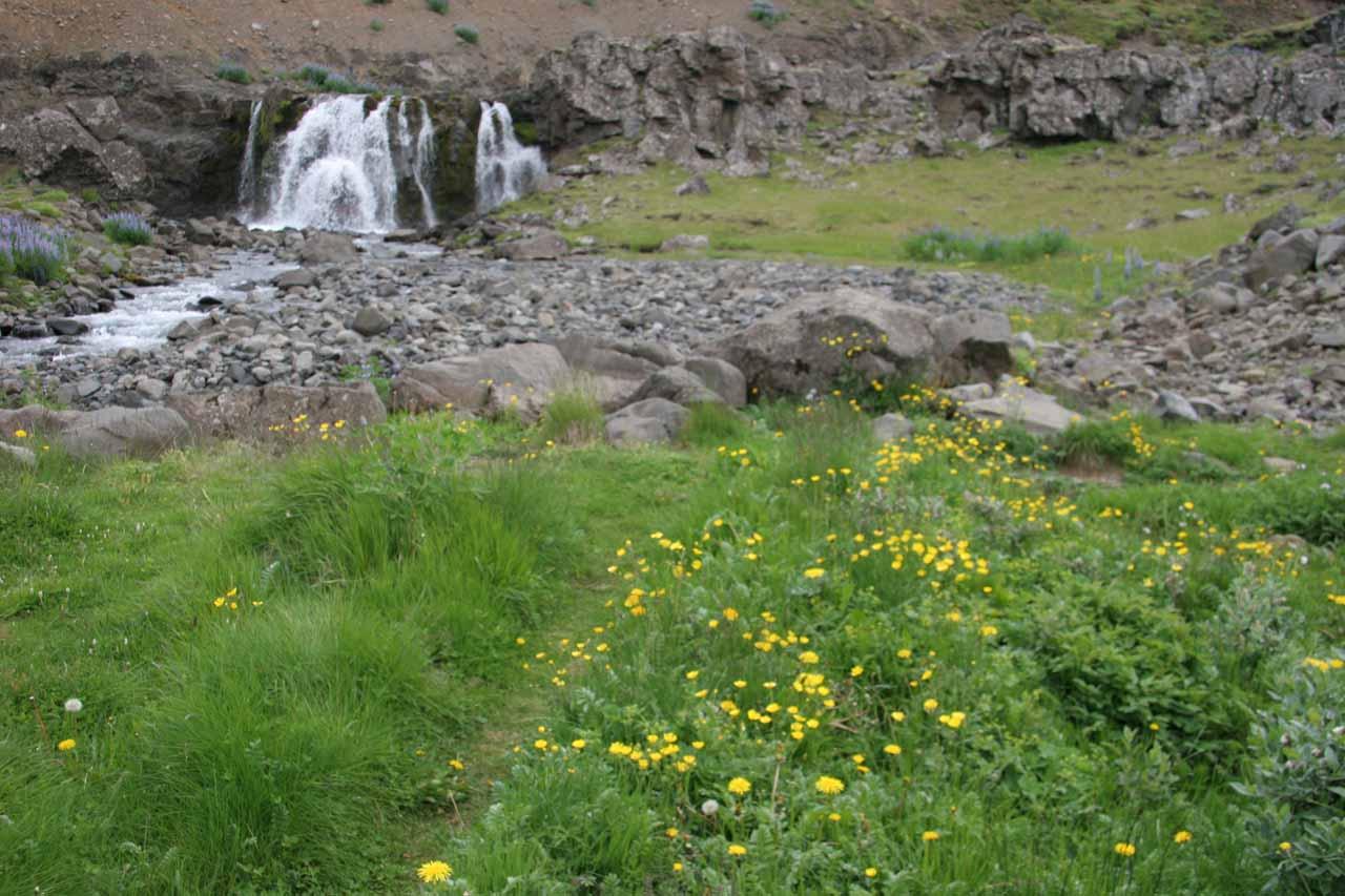 Yellow flowers before Sjavarfoss