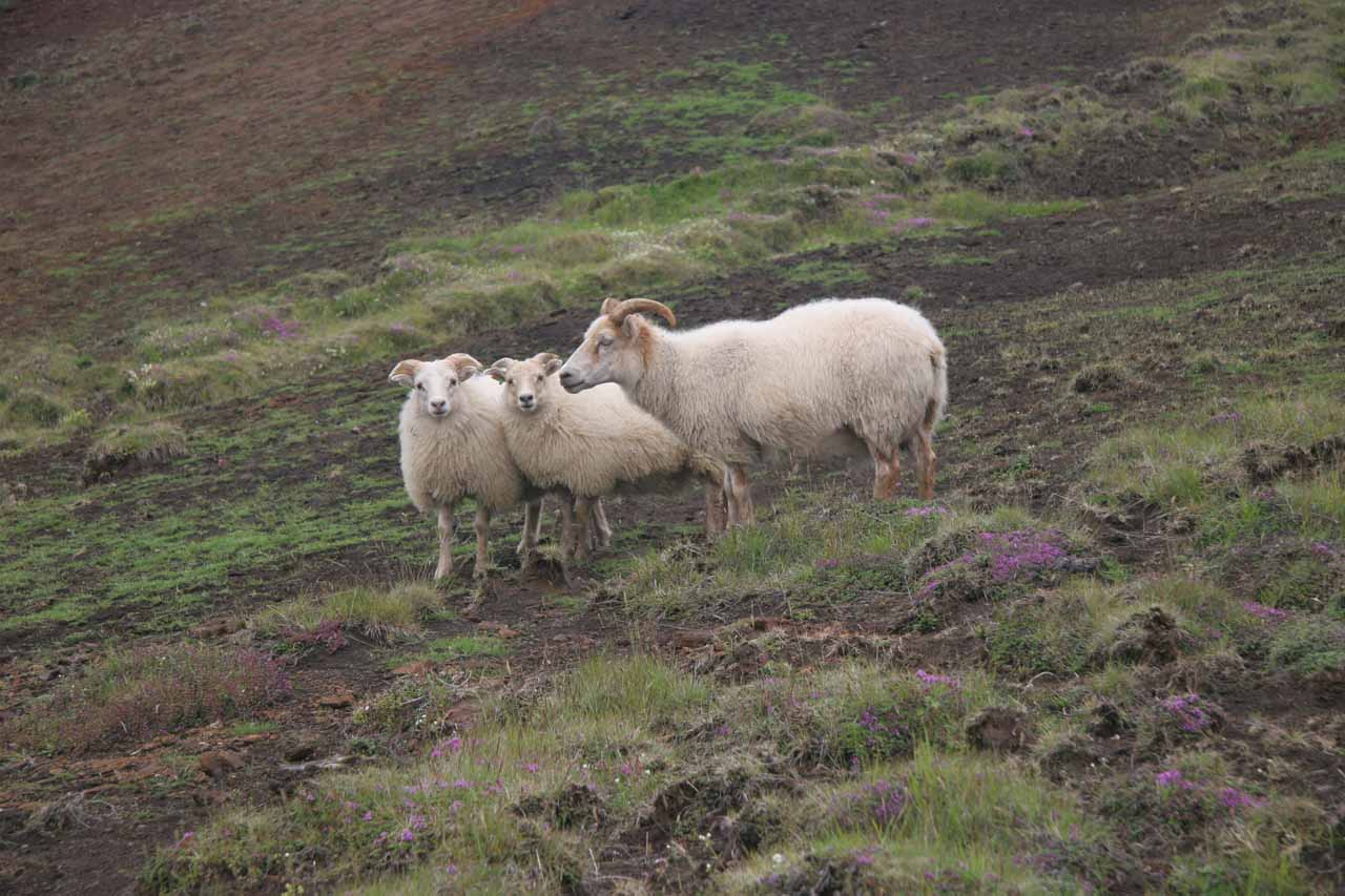 The same trio of sheep I saw this morning