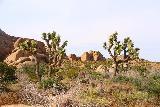 Skull_Rock_040_05182019 - Joshua Trees opposite the road from Skull Rock
