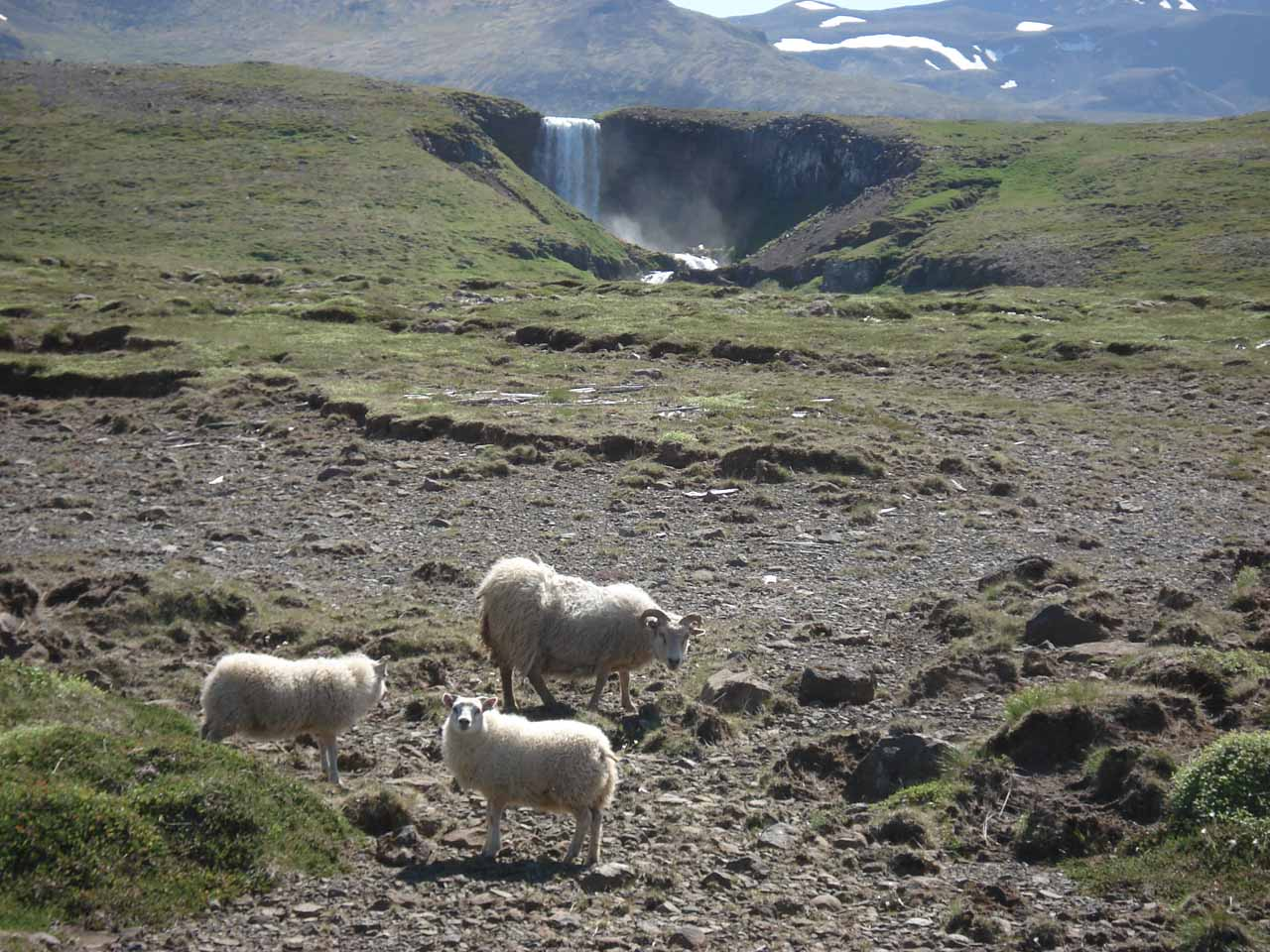 Some sheep wondering what we were doing as we were trying to get closer to Svöðufoss