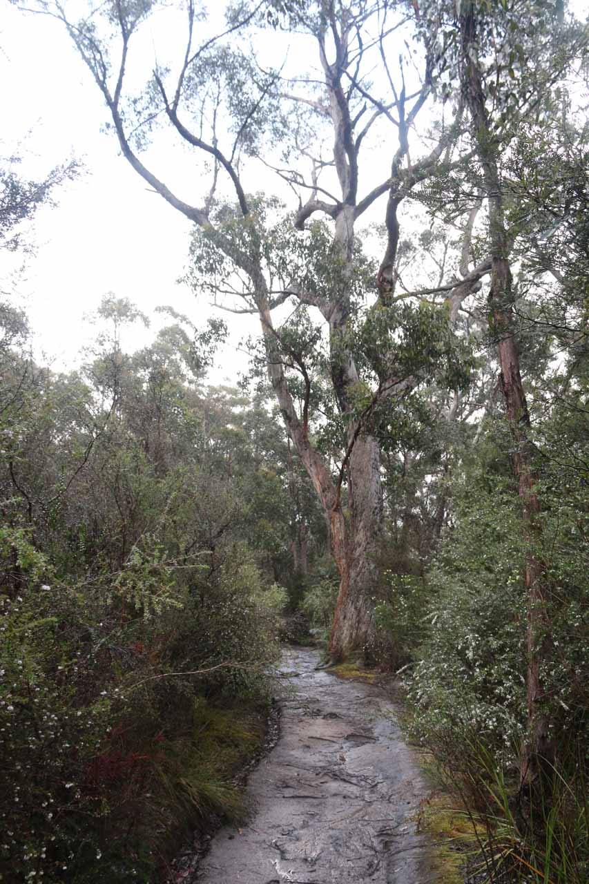 Some tall thin trees were growing alongside the Snug Falls Track
