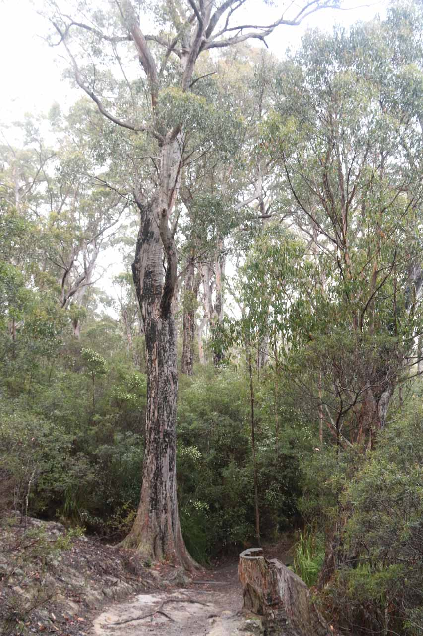 More tall trees alongside the Snug Falls Track