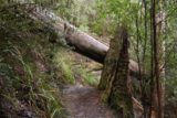 Snug_Falls_17_053_11272017 - Another fallen tree obstacle that was fairly trivial to get by on the Snug Falls Track during my November 2017 hike