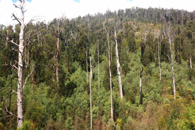 Steavenson_Falls_17_084_11202017 - From the shelter, I was able to look across the Steavenson River towards these bare (burnt) mountain ash trees nestled amongst new trees and sproutlings