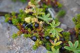 Svodufoss_054_08172021 - More blueberries growing near the brink of Svodufoss