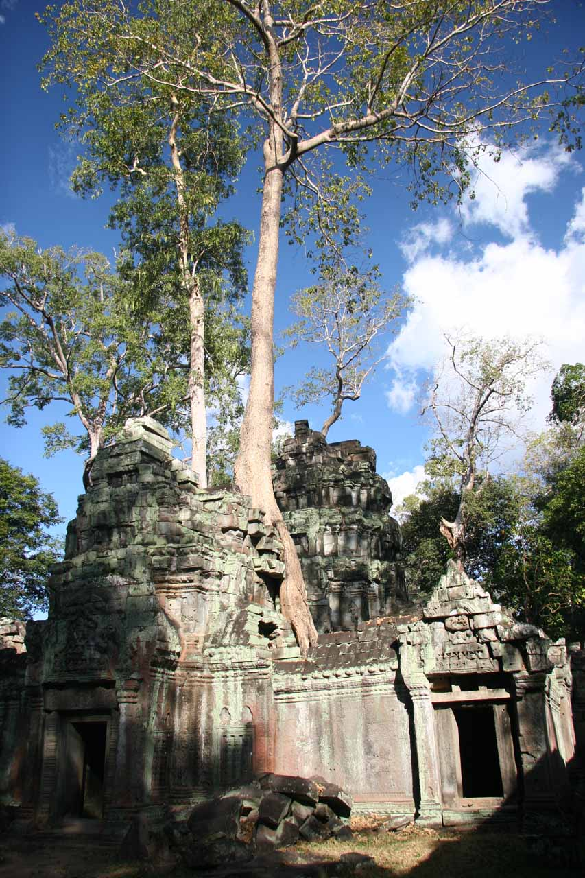 More trees growing out of the ruins at Ta Prohm