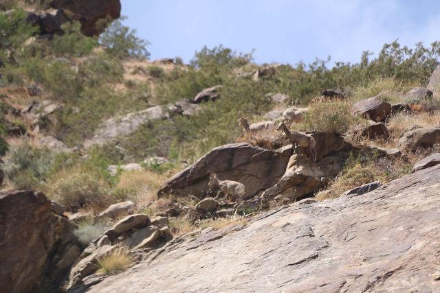 Tahquitz_Falls_066_05192019 - Desert bighorn sheep seen high up on the cliffs near Tahquitz Falls during our 2019 visit