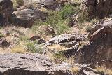 Tahquitz_Falls_075_05192019 - More desert bighorn sheep making a surprise appearance by the Tahquitz Falls in May 2019