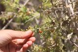 Tahquitz_Falls_096_05192019 - Tahia picking some of the wolfberries in Tahquitz Canyon