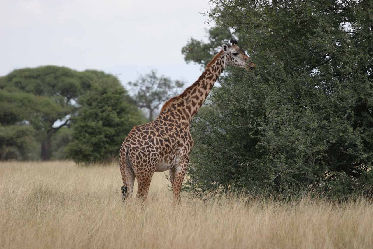 Our first look at a giraffe