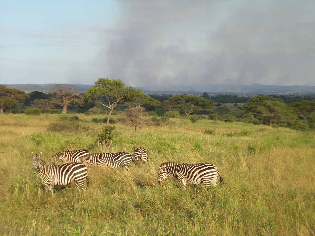 Fire in the background while zebras were grazing in the foreground