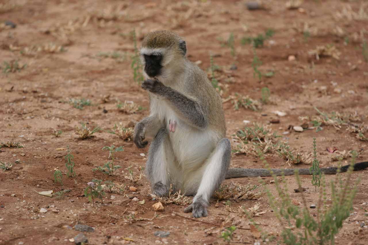 Vervet monkey enjoying stolen food