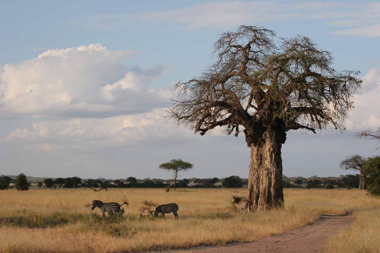 Zebras and baobab tree