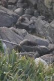 Tauranga_Bay_016_12292009 - Fur seals at the colony