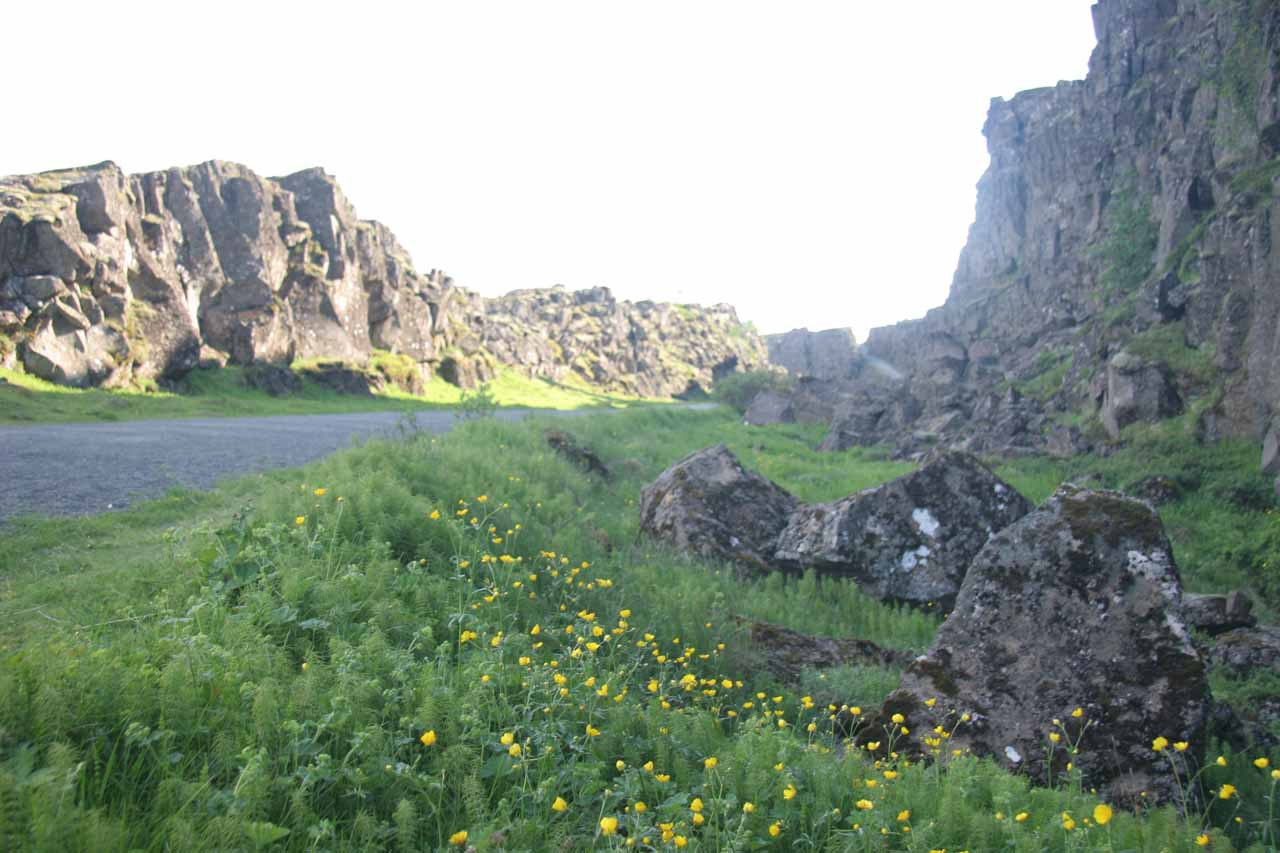 During our visit to Þingvellir, there were many wildflowers growing within the foliage by the volcanic faults