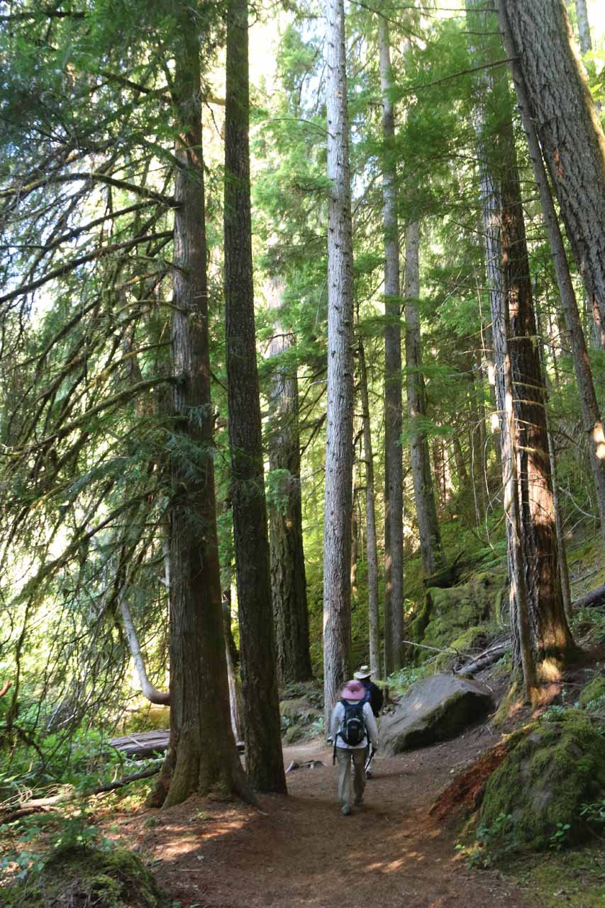 Tall trees flanking the Toketee Falls Trail