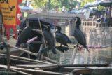 Tongli_037_05092009 - Cormorants on the Tongli Canal