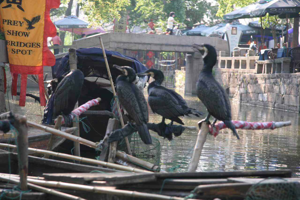 Cormorants on the Tongli Canal