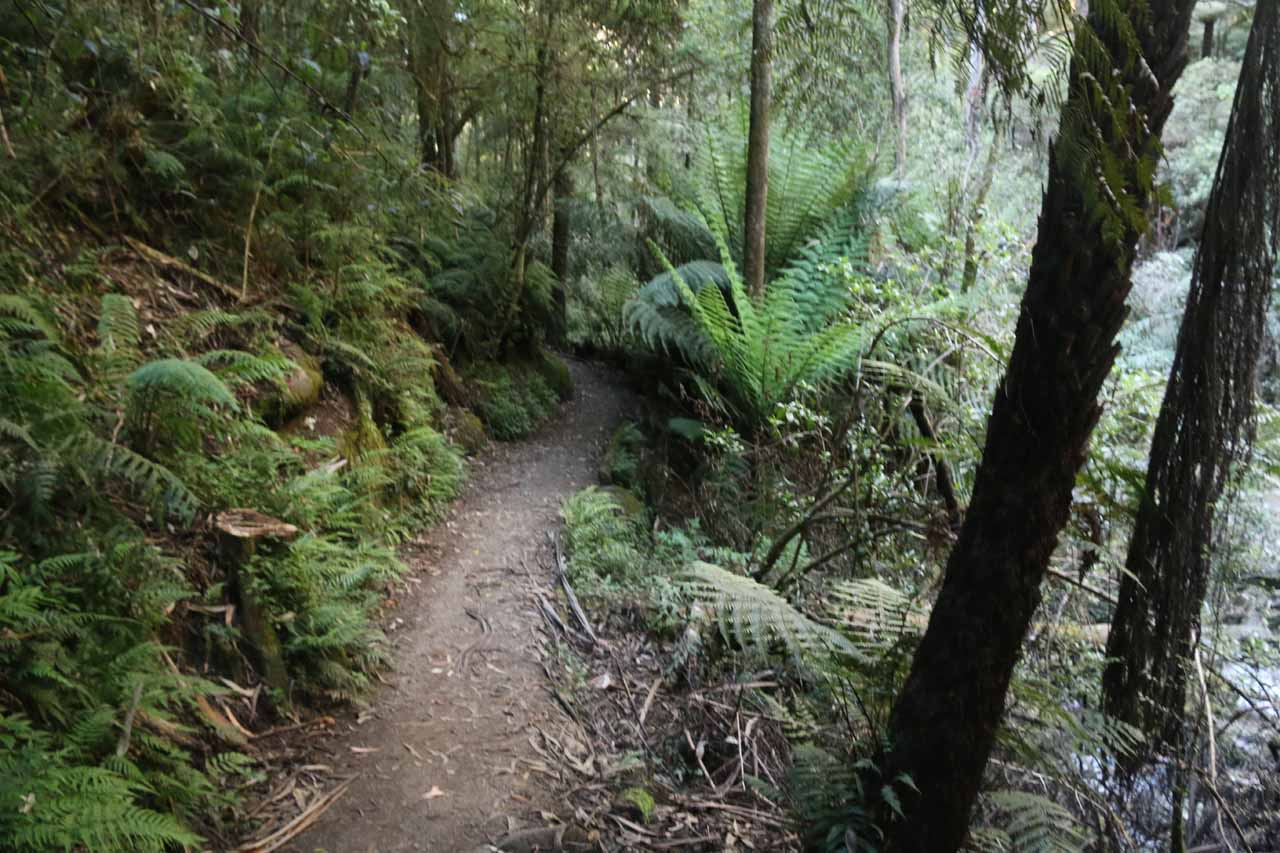 Hiking alongside the Toorongo River with ferns growing on both sides of the narrow loop track