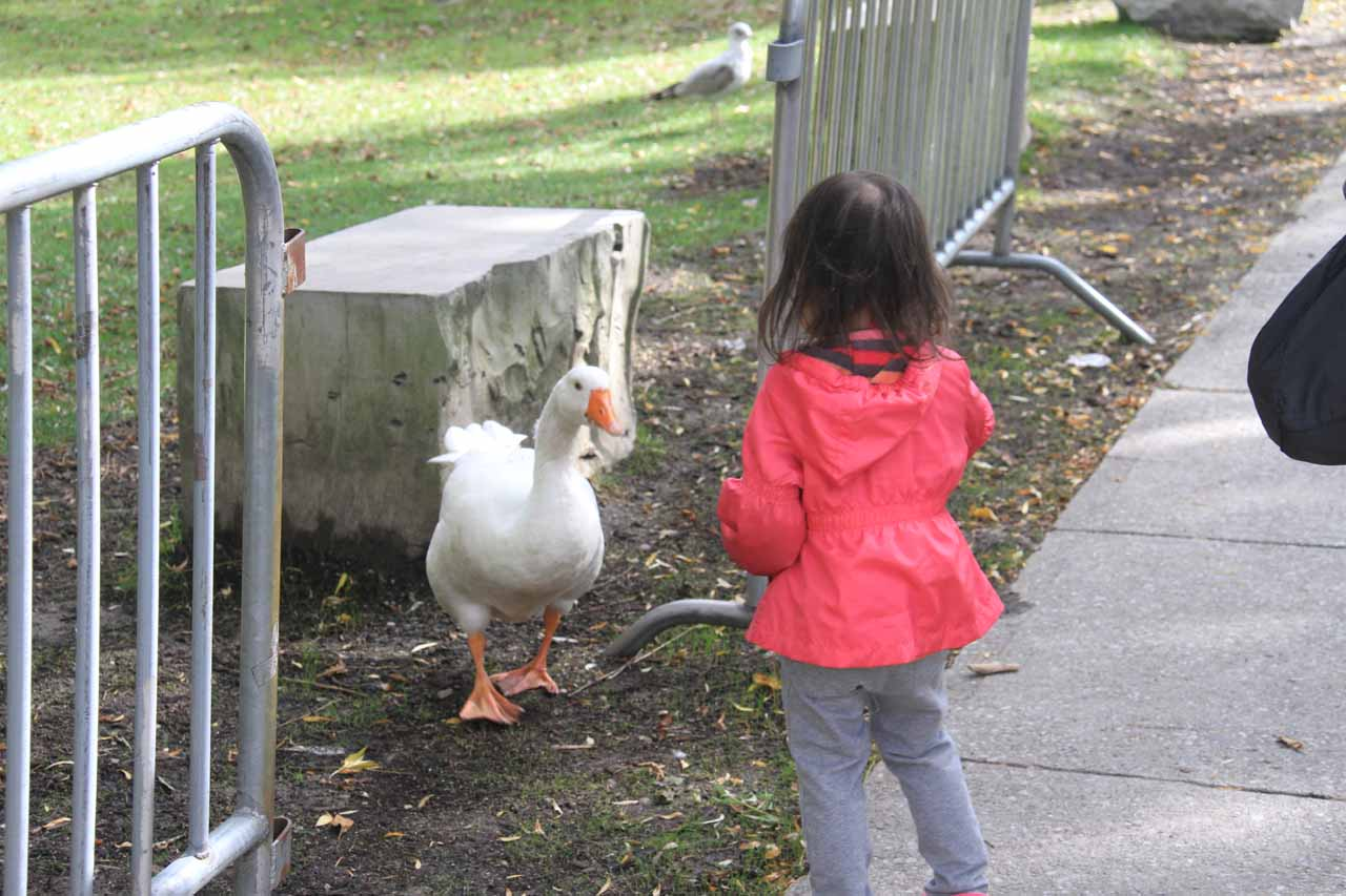 Tahia intrigued by the geese roaming around Toronto Island
