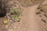 Travertine_Falls_036_04142017 - Here was some cacti along the Crest Trail No. 130 highlighting the arid climate of this part of the Albuquerque vicinity
