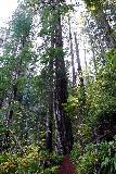 Trillium_Falls_019_11212020 - Looking up at redwood trees while hiking towards Trillium Falls