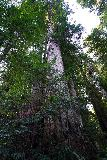 Trillium_Falls_024_11212020 - This was a particularly thick redwood tree that I noticed while hiking to Trillium Falls